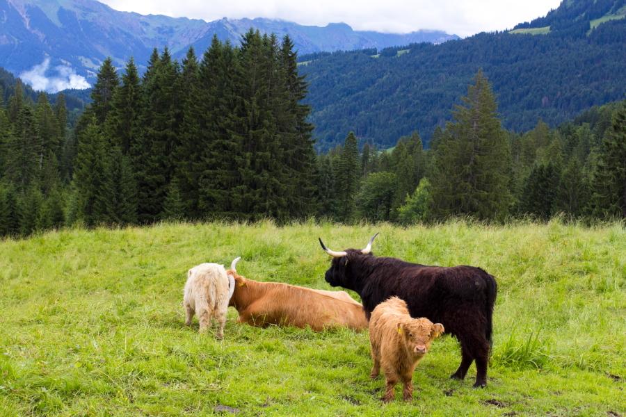 Forarlbergo Alpių pievose ganosi kudloti veršiukai
