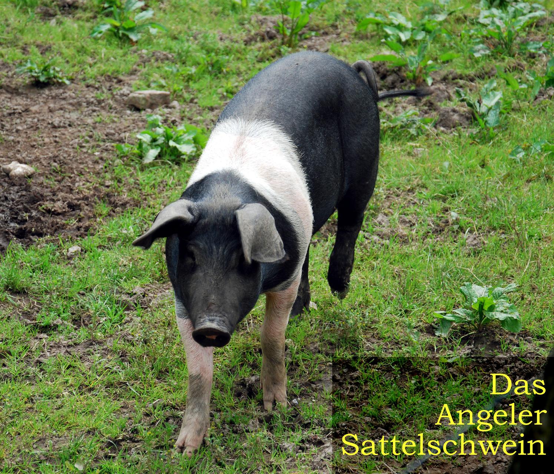Das Angeliter Sattelschwein