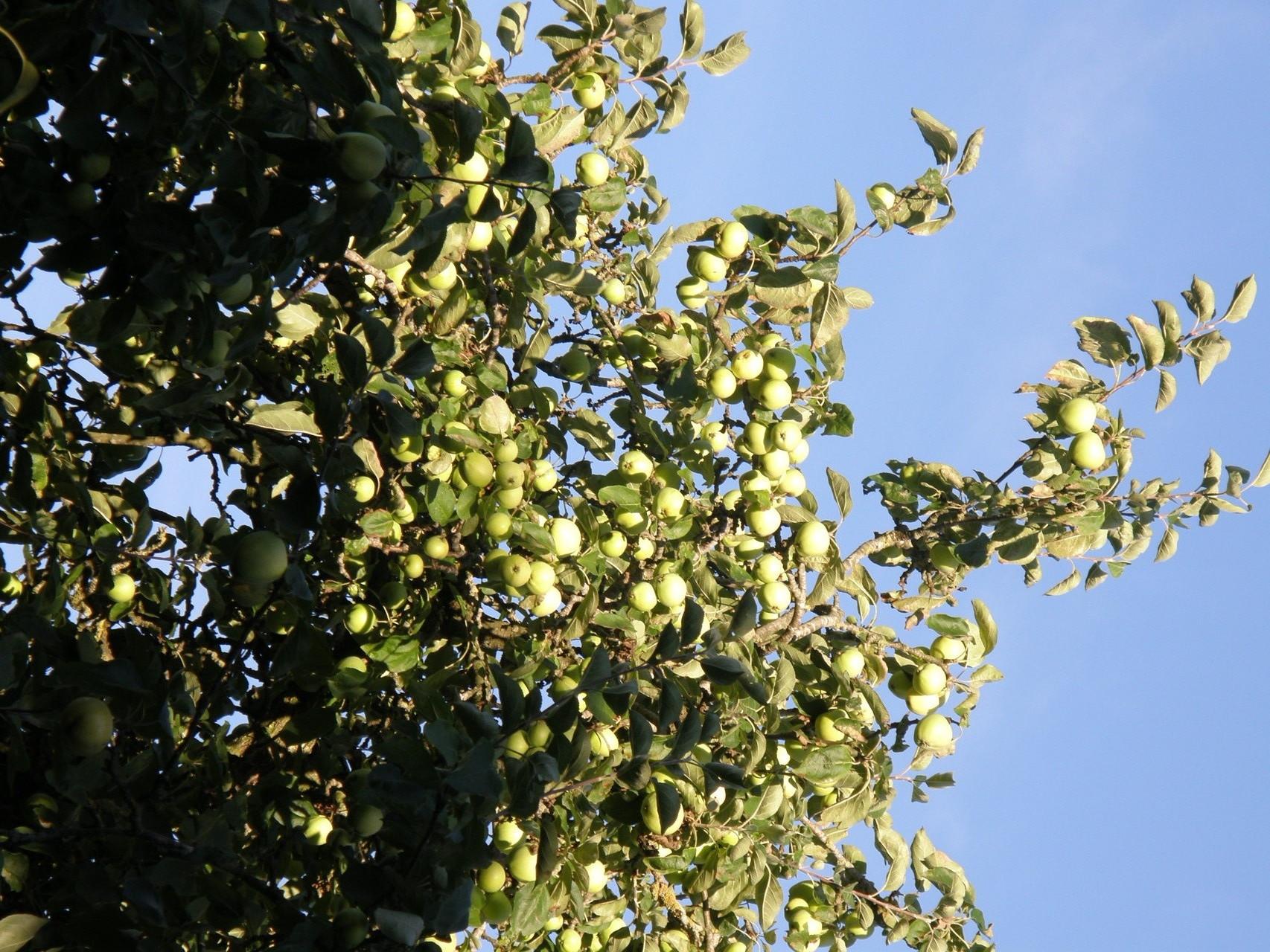 Äpfel im Garten