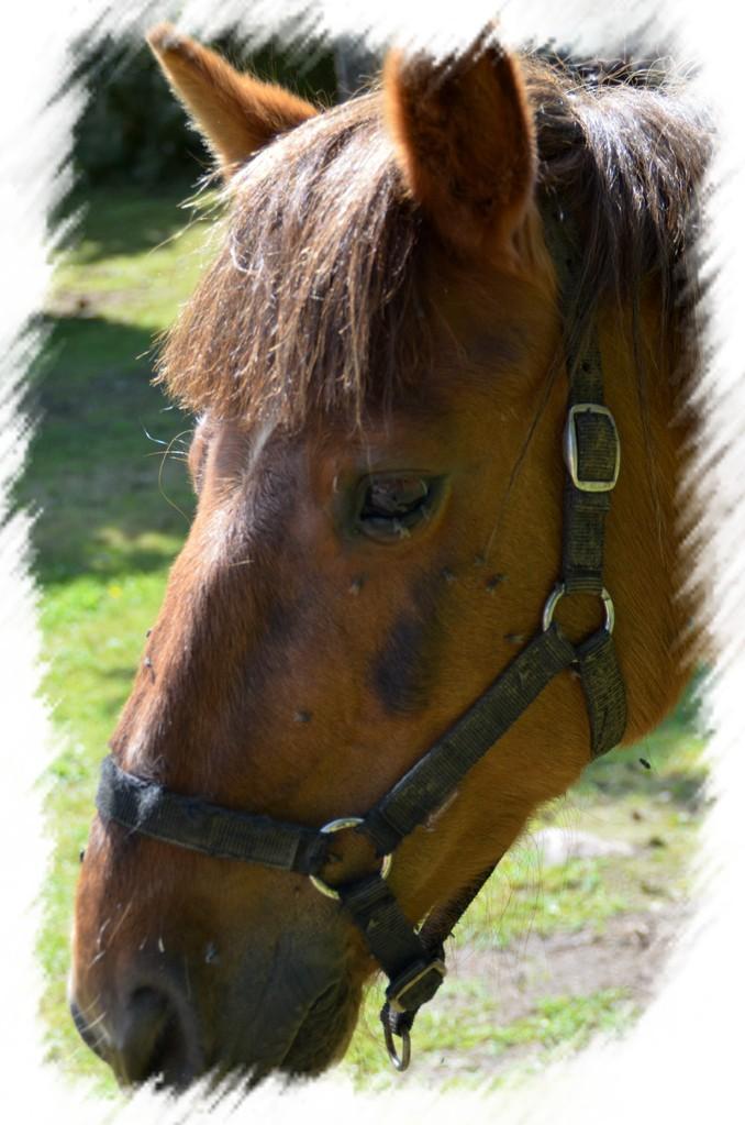 Joalle le cheval du Domaine du Châtelet