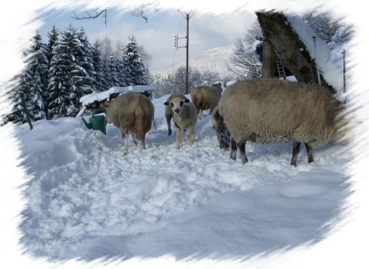 Les moutons en hivers