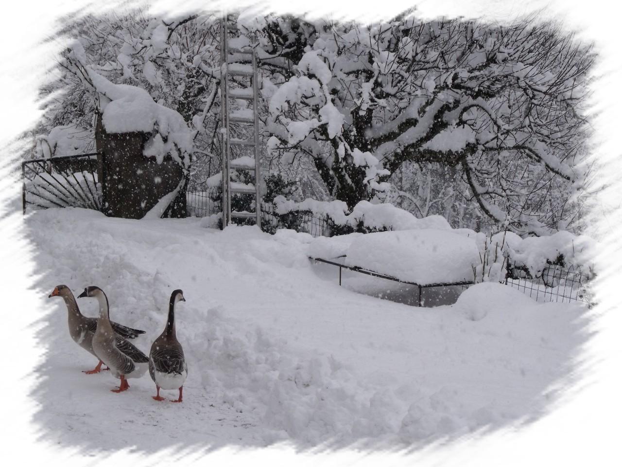 Les oies en hivers