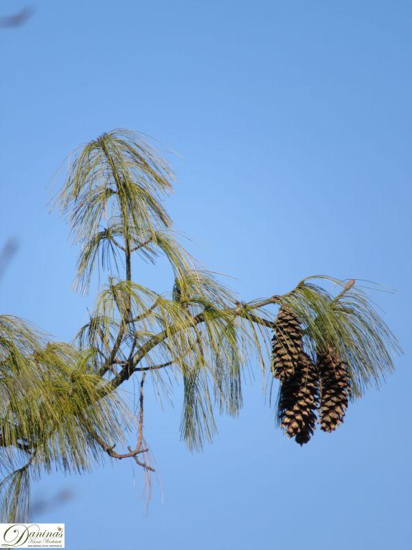 Weymouthskiefer Zweig mit großen hängenden Zapfen