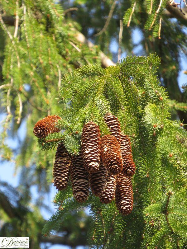 Fichtenzapfen hängen an den Ästen der Fichtenbäume.