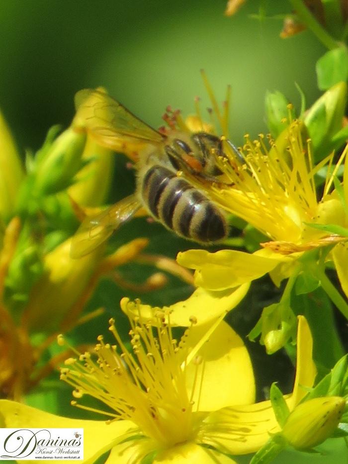 Honigbiene auf der Suche nach Nektar. Johanniskrautblüten sind unwiderstehlich!