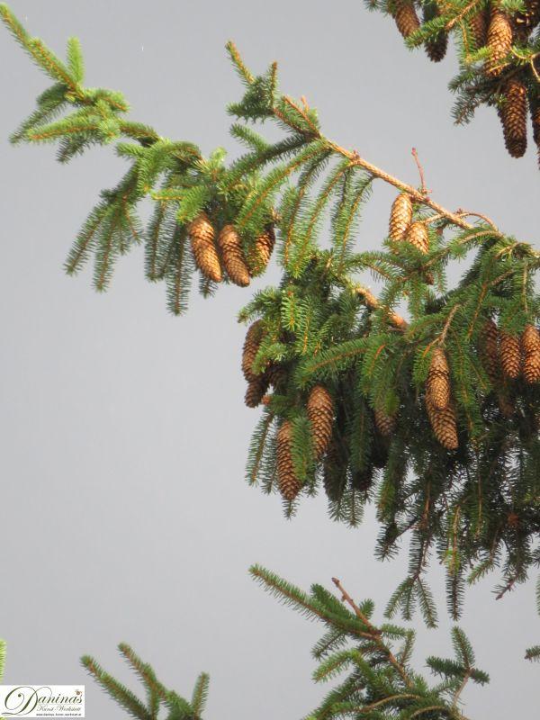 Fichtenzapfen hängen an den Ästen der Fichtenbäume
