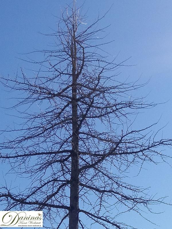 Lärche im Winter - ohne Nadeln