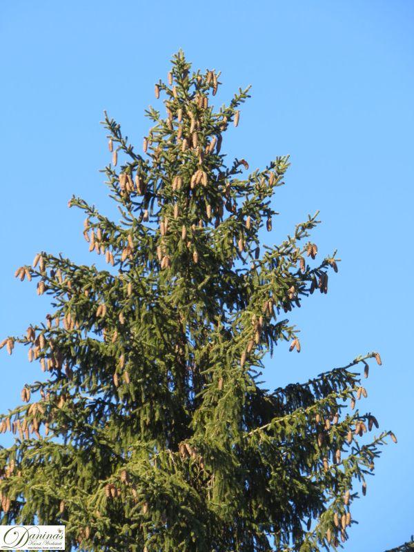 Fichtenbaum mit jungen Fichtenzapfen