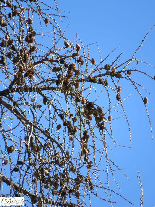 Auf dem Baum hängen gebliebene Lärchenzapfen im Winter