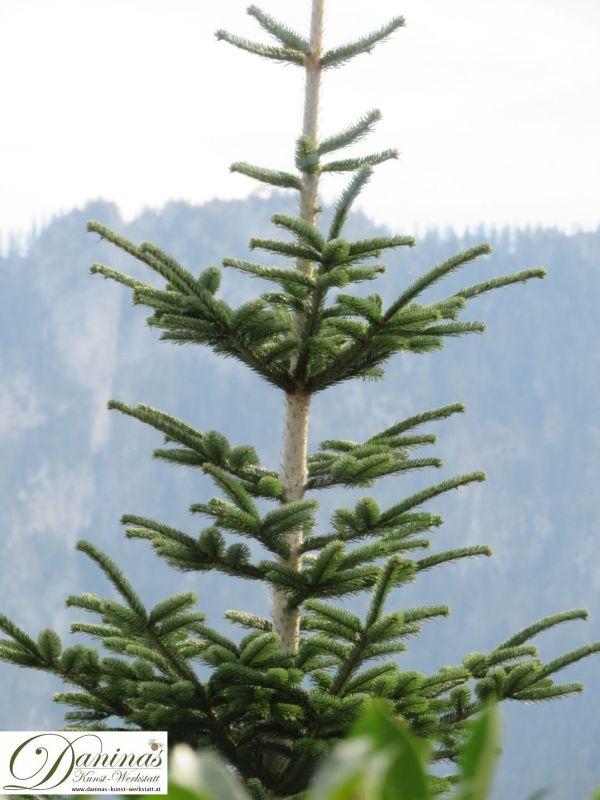 Junger Fichtenbaum mit spitzen dunkelgrünen Nadeln, die rund um die Triebzweige verteilt sind