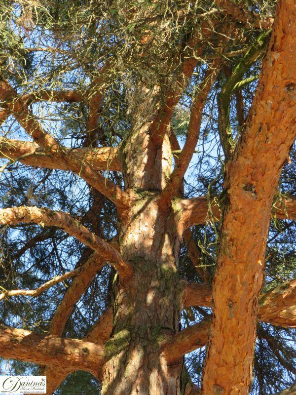 Kiefer Baum mit rötlichem Stamm und Ästen