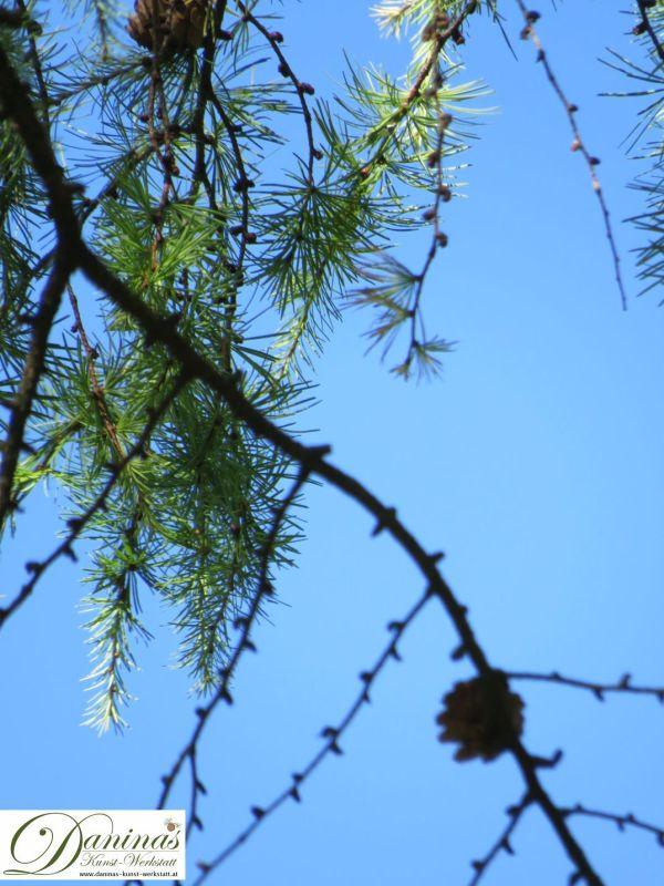 Lärchennadeln fallen im Herbst von den Zweigen