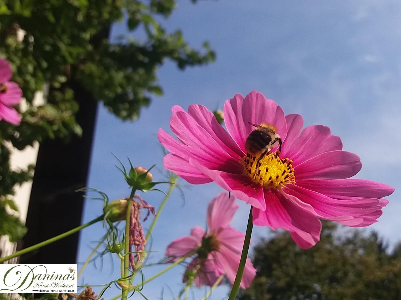 Schuckkörbchen, eine bienenfreundliche Sommerblume