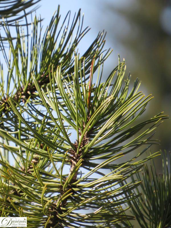 Kiefern Nadeln wachsen jeweils paarweise rund um die Zweige