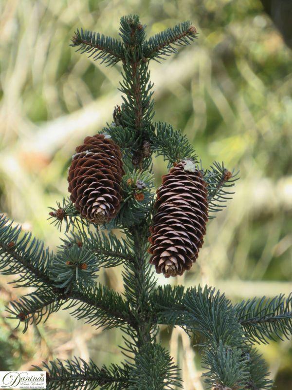 Hängende Fichtenzapfen am Zweig eines Fichtenbaums