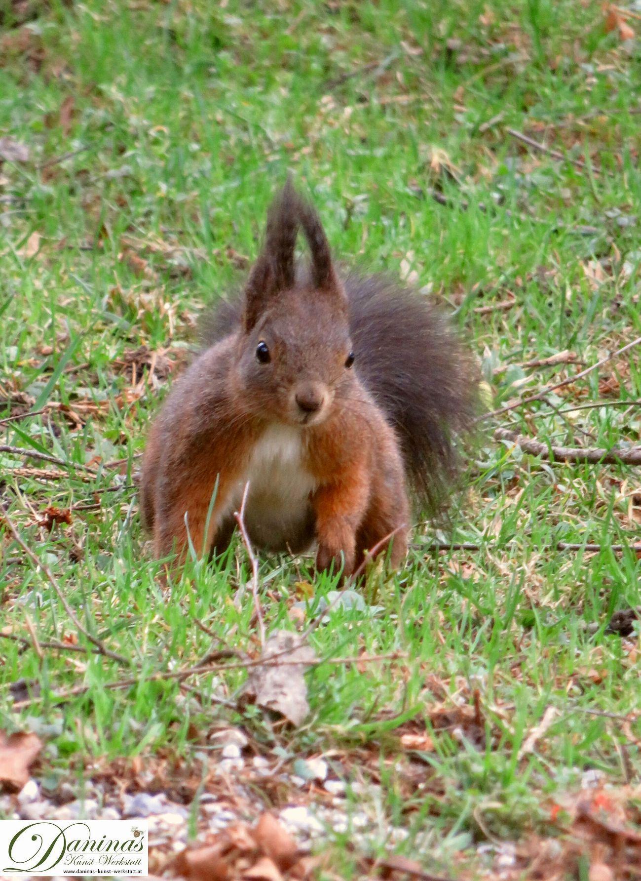 Braunes Eichhörnchen auf Nahrungssuche im Garten.