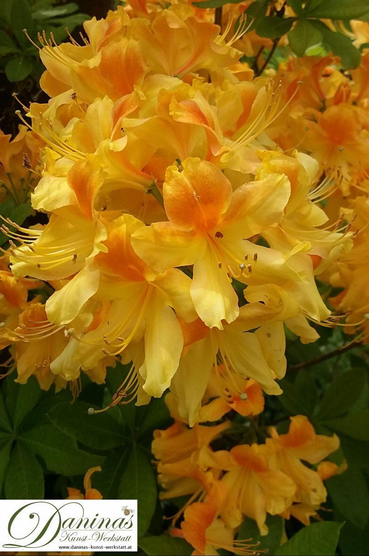 Rhododendron orange - Garten Impressionen im Frühsommer by Daninas-Kunst-Werkstatt.at