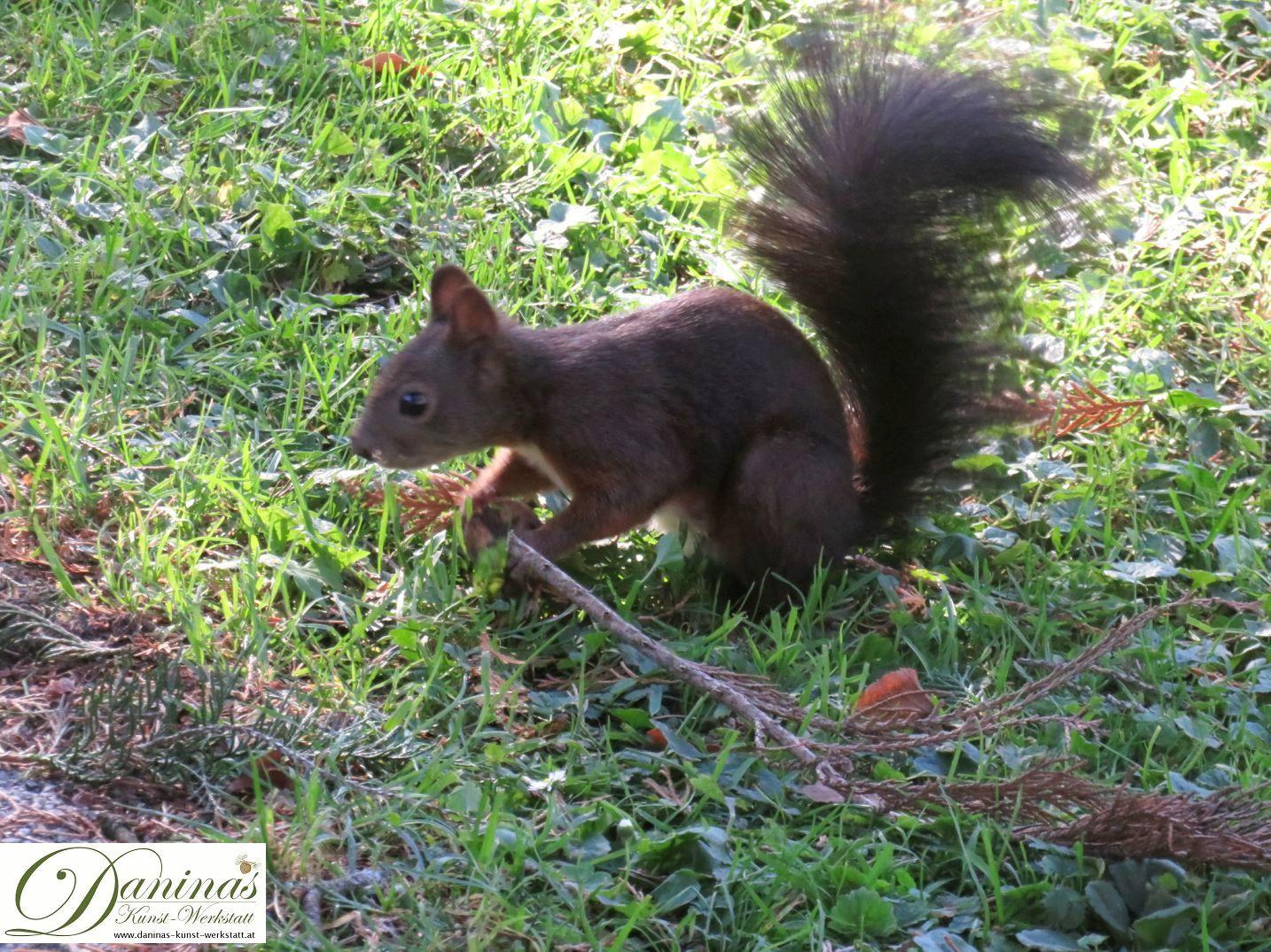 Eichhörnchen auf der Suche nach Pilzen im Rasen