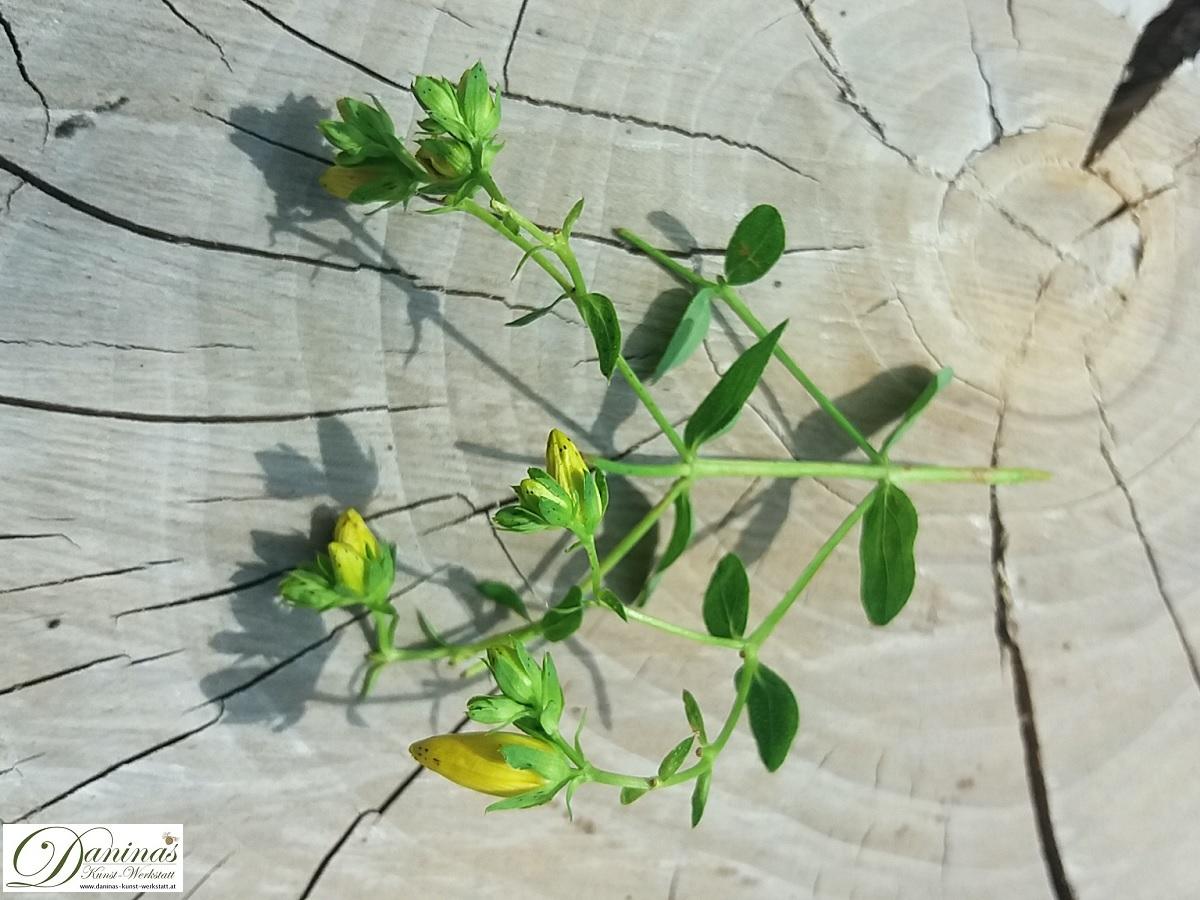Heilpflanze Johanniskraut für innerliche und äußerliche Anwendung.