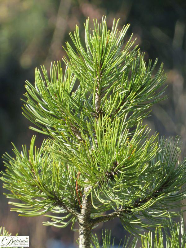 Kiefer Zweig mit langen Nadeln