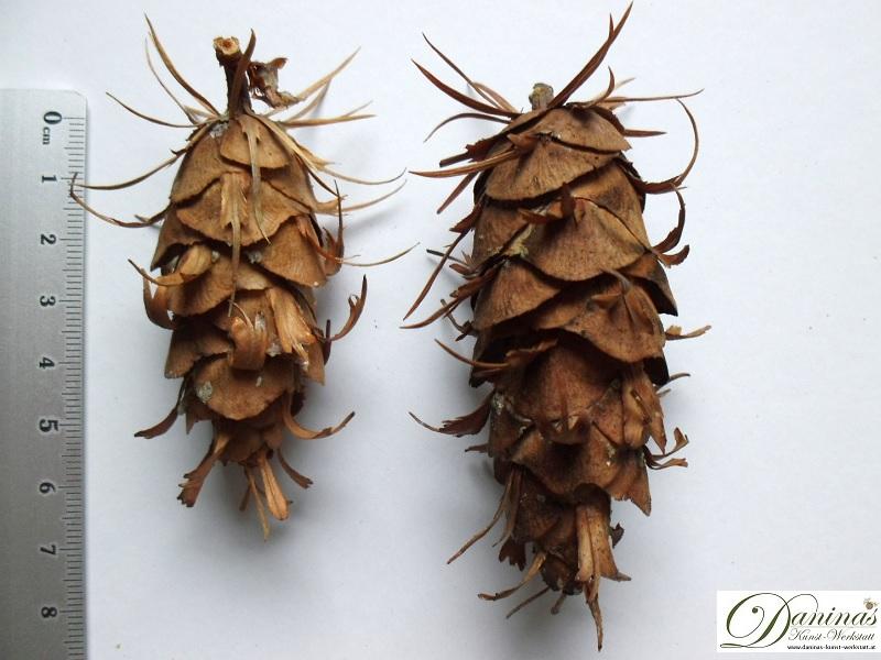 Douglasienzapfen mit Samenschuppen in verschiedenen Größen