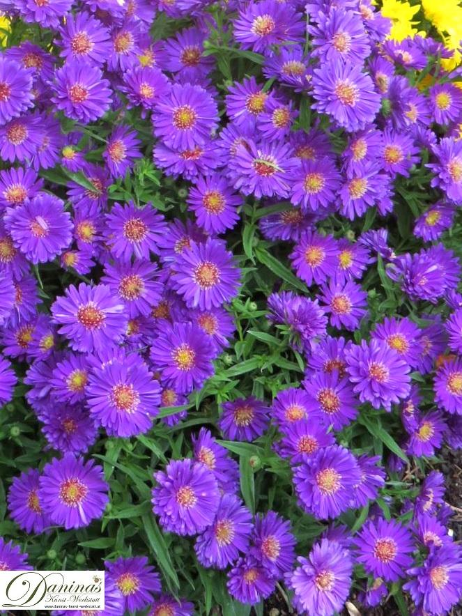 Grabbepflanzung Herbst: violette, ungefüllte Astern