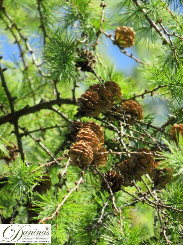 Lärchenzapfen auf dem Baum
