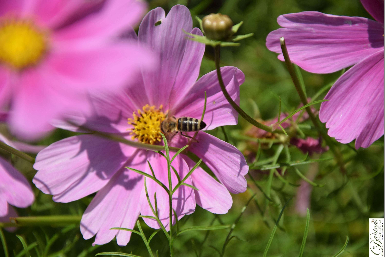 Schmuckkörbchen - bienenfreundliche Sommerblume