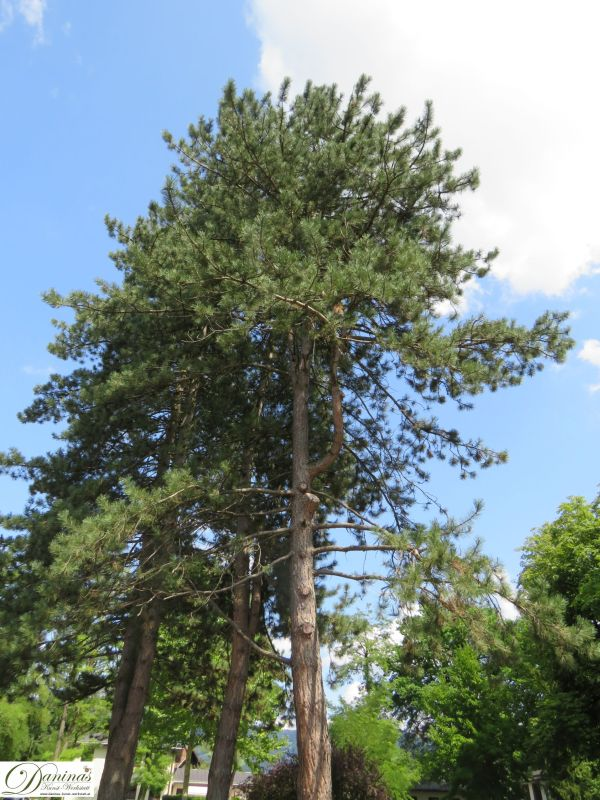 Kiefer Bäume