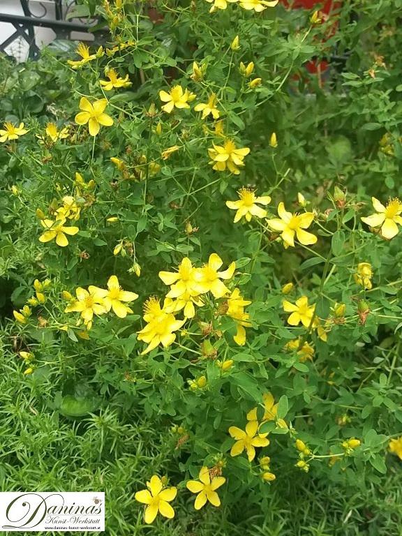 Blühende Johanniskraut Pflanze