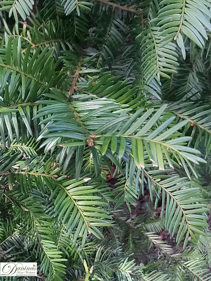 Eibe, traditionelle Palmbuschen Pflanze mit hoher Symbol- und Schutzkraft