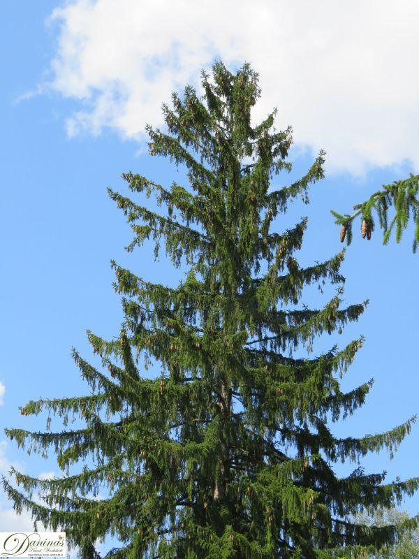 Mächtiger Fichtenbaum mit wenig Zapfen