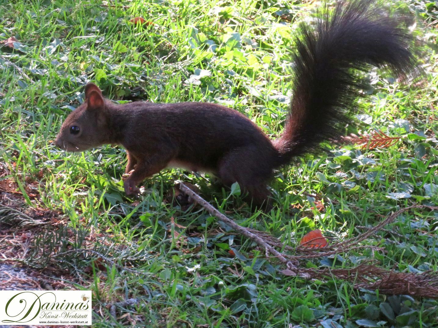 Eichhörnchen sucht am Boden nach Pilzen und Zapfen.
