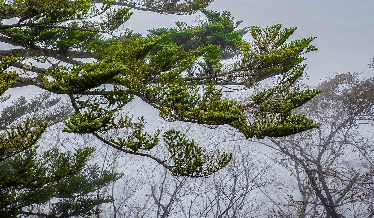 Pins en plateau région de Nikko