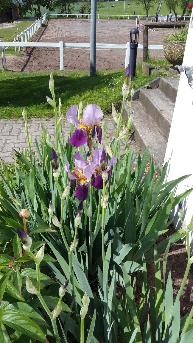 Wunderschöne Lilien