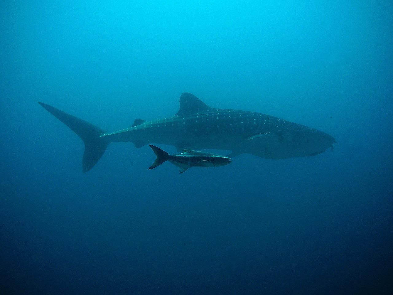 Squalo Balena durante un'immersione in Thailandia