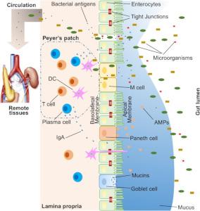 Darstellung der Darmbarriere und ihrer drei Komponenten: physikalisch, biochemisch, immunologisch.