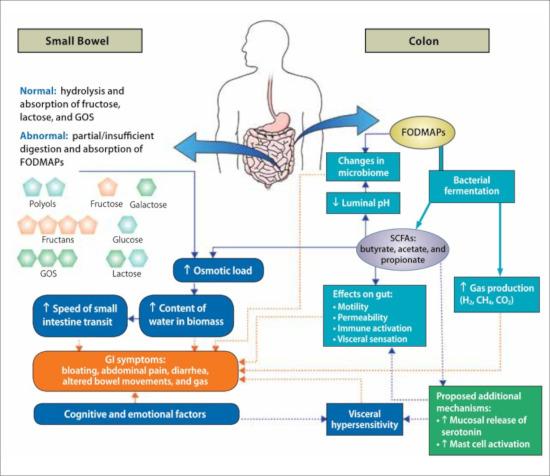 Grafische Darstellung der Wirkung von FODMAPs in der Ernährung: Transit im Dünndarm, Wasser im Darm, Gasproduktion, pH-Wert, Immunität.