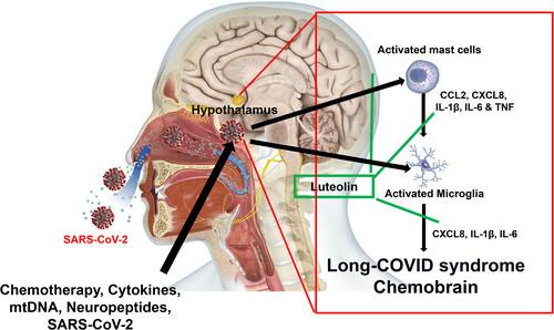 Schematische Darstellung einer Arbeitshypothese zur Pathophysiologie bei Long Covid: Indirekte und direkte Stimulation von Mastzellen und Mikroglia durch das Coronavirus führt zur Freisetzung entzündlicher Mediatoren wie IL1beta, IL6 und TNF