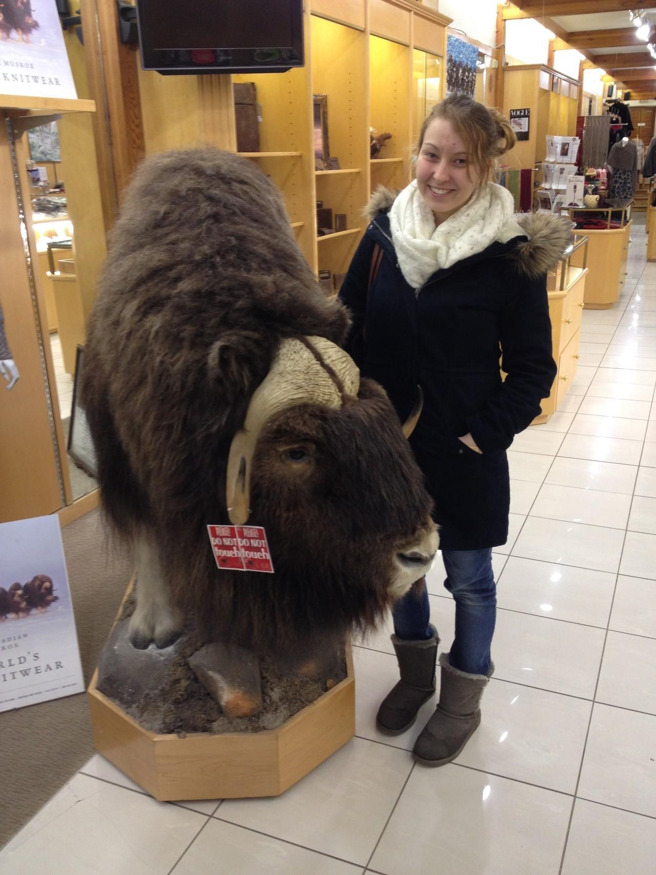 echtes Bison