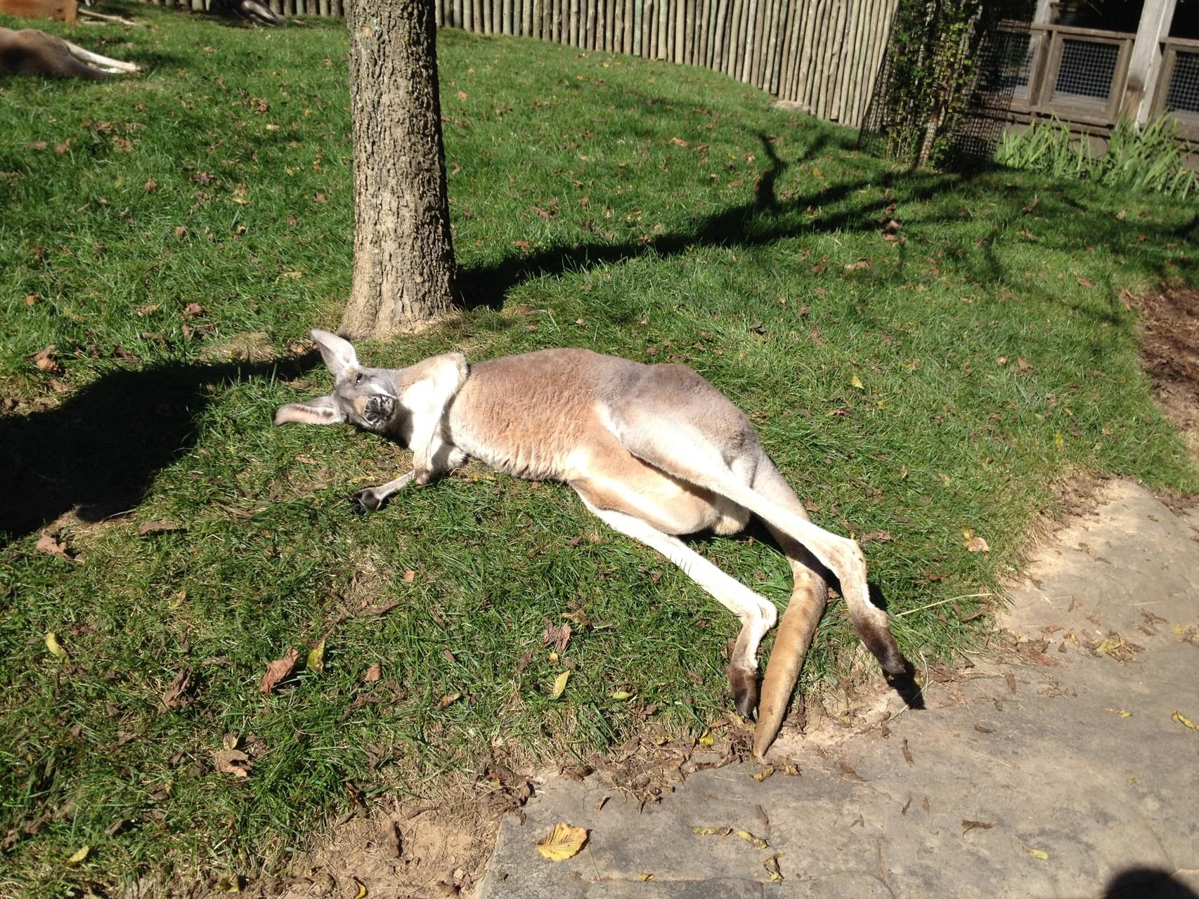das Känguru war müde, wir durften es streicheln-es ist so flauschig!