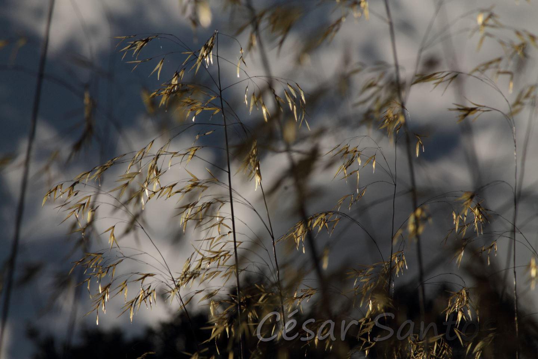 Espigas doradas al viento