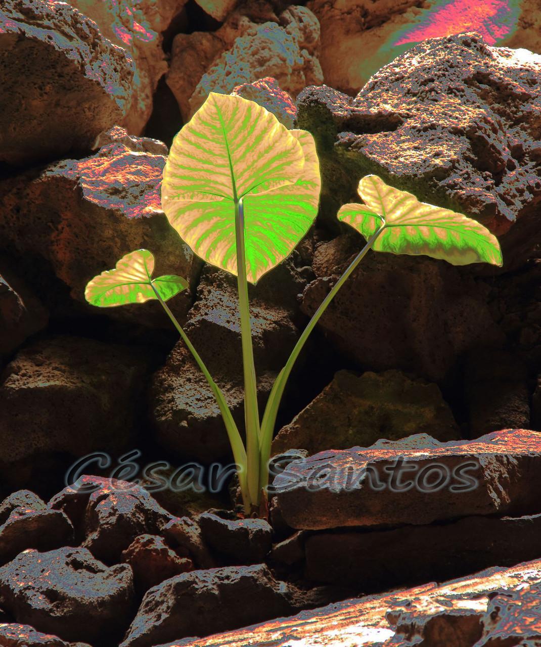 Planta en la roca