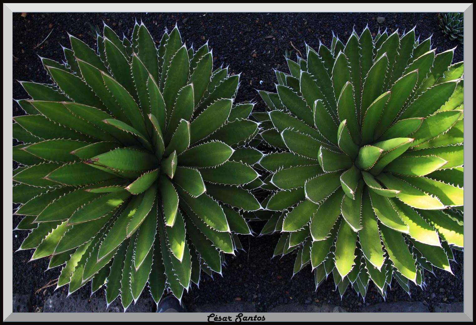 Aloes y geometría