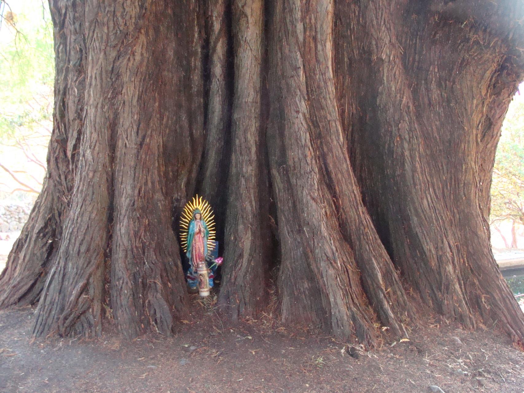 900 Jahre alter Ahuehuete-Baum /