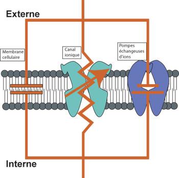 Le circuit électronique de la membrane cellulaire des neurones