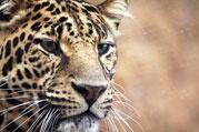 Tiger: Somatic Experiencing ist wie das Erwachen des Tigers