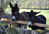 Limousin donkey hike