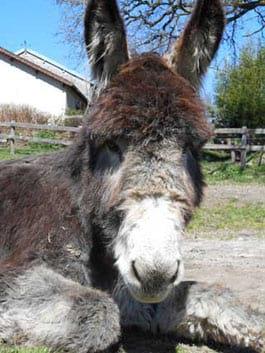 louer un âne pour randonner en Limousin