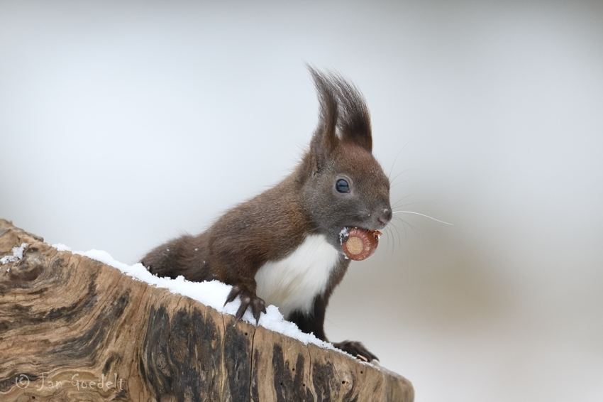 Eichhörnchen in der Winterzeit